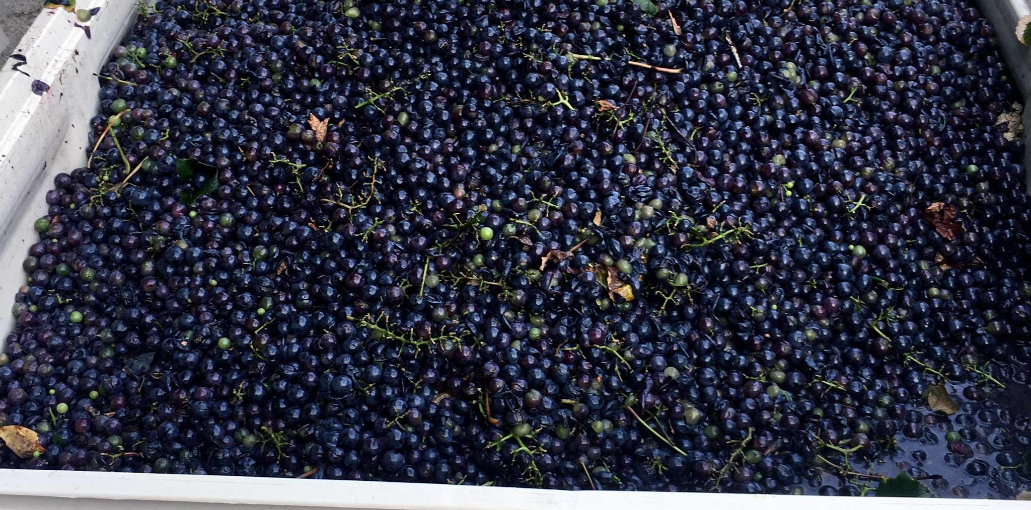 French Ridge Vineyards — Grape Harvest Season