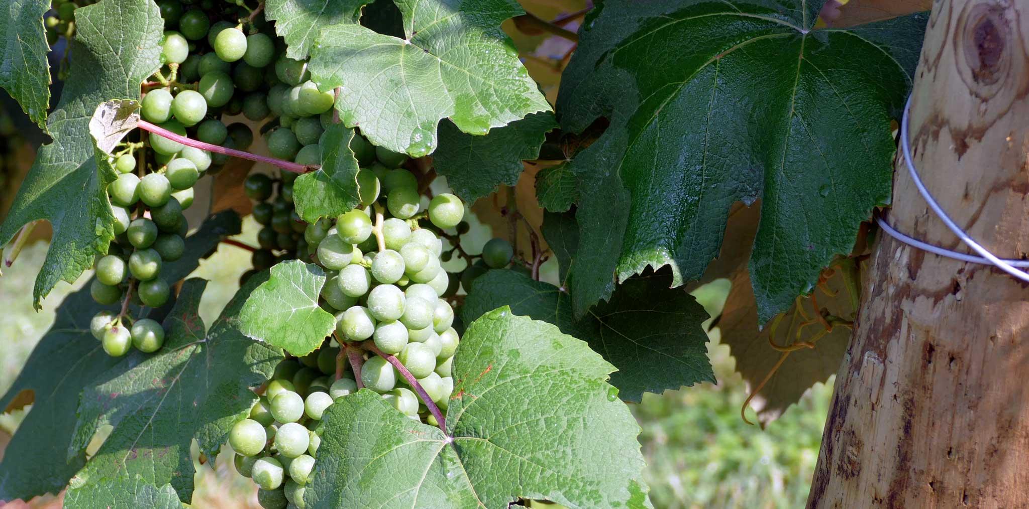 French Ridge Vineyards — Grapes