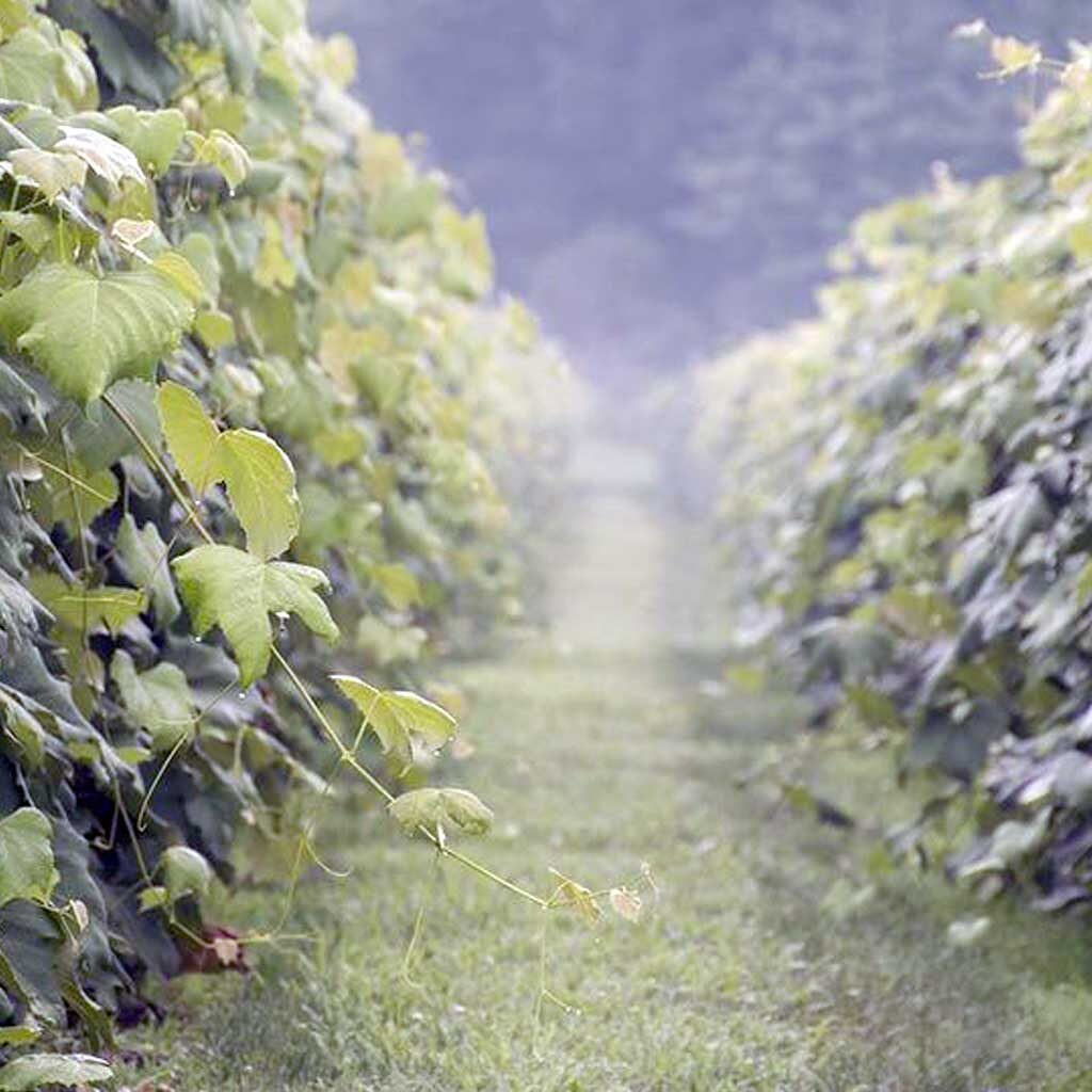 French Ridge Vineyards Fog
