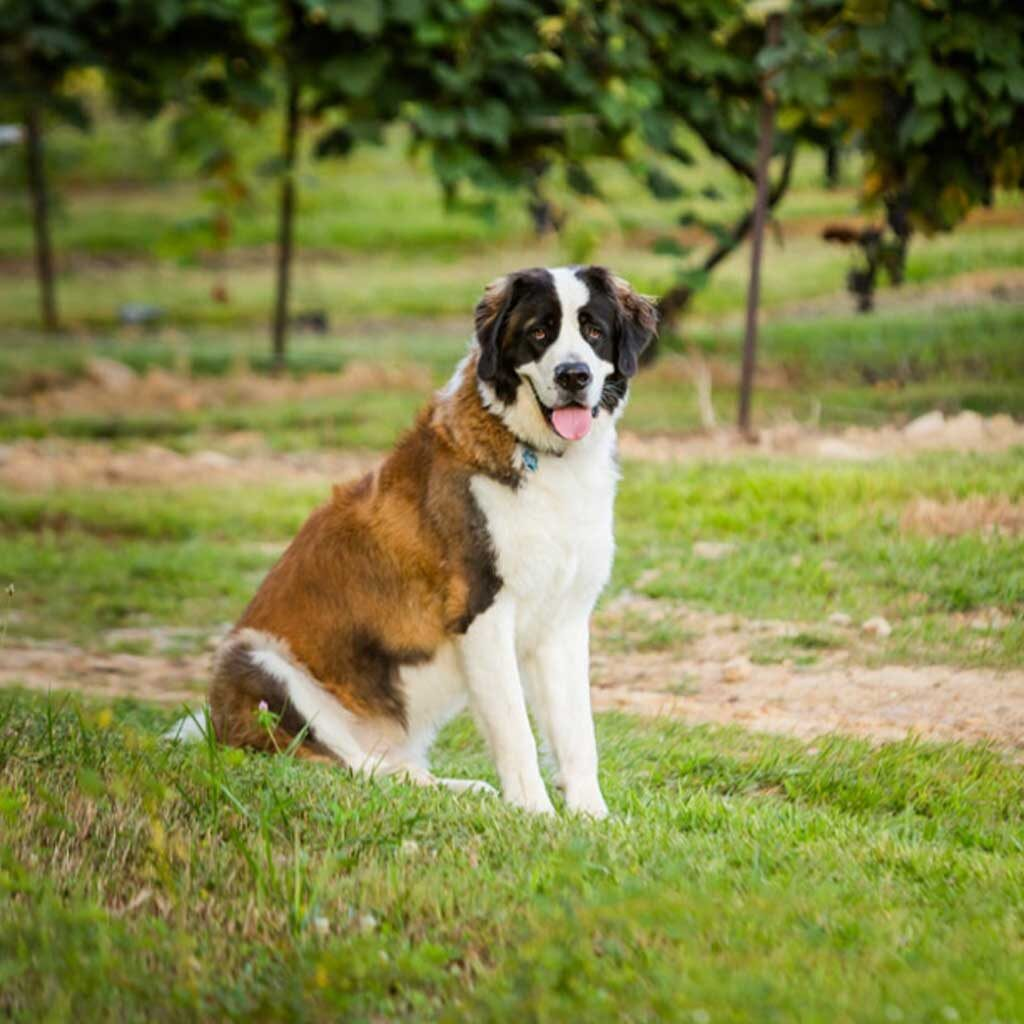 French Ridge Vineyards — Buzz is waiting to welcome guests!